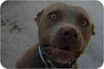 American Staffordshire Terrier/American Pit Bull Terrier Mix Dog for adoption in Bellflower, California - Iris