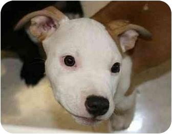 American Pit Bull Terrier Puppy for adoption in Oak Lawn, Illinois - Pumpkin