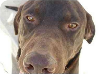Labrador Retriever/Pointer Mix Dog for adoption in Provo, Utah - Lucky