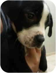 Boxer/Labrador Retriever Mix Puppy for adoption in Calumet City, Illinois - Valentino