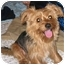 Photo 1 - Yorkie, Yorkshire Terrier Mix Dog for adoption in Powell, Ohio - Toby