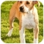 Photo 2 - Labrador Retriever/Beagle Mix Puppy for adoption in Marina del Rey, California - Lana