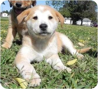 Golden Retriever/Sheltie, Shetland Sheepdog Mix Puppy for adoption in Plainfield, Connecticut - Gommer