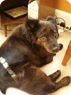 Sheltie, Shetland Sheepdog/Australian Shepherd Mix Dog for adoption in Carey, Ohio - BRIDGET