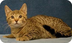 Domestic Shorthair Cat for adoption in Sacramento, California - Milo
