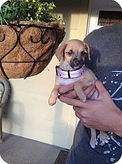 Chihuahua Mix Puppy for adoption in Santee, California - Sally
