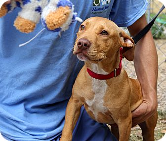 American Staffordshire Terrier Mix Puppy for adoption in Bradenton, Florida - Scrapy