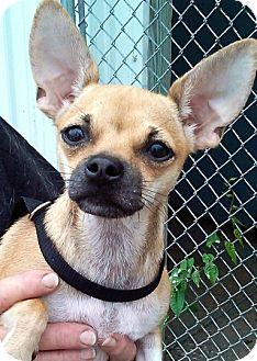 Chihuahua Dog for adoption in Oswego, Illinois - Taco Belle