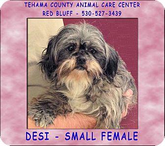Shih Tzu Mix Dog for adoption in Red Bluff, California - DESI