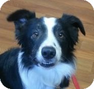 "Border Collie Dog for adoption in Minerva, Ohio - Ripley""I've Been Adopted"""