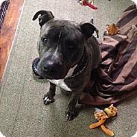 Adopt A Pet :: Atlas - Bradenton, FL