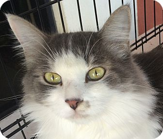 Domestic Mediumhair Cat for adoption in Winchester, California - Courtney