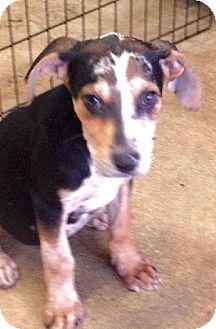 Catahoula Leopard Dog Puppy for adoption in New Smyrna beach, Florida - catahoula pups