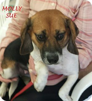 Beagle Dog for adoption in Ventnor City, New Jersey - MOLLY SUE