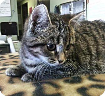 British Shorthair Kitten for adoption in Sauk Rapids, Minnesota - Tic
