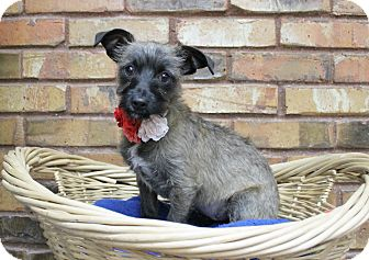 Terrier (Unknown Type, Small) Mix Puppy for adoption in Benbrook, Texas - Meli