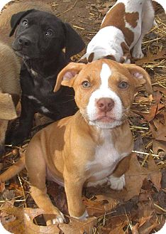 Boxer Mix Puppy for adoption in East Hartford, Connecticut - Sanka Adoption pending