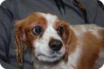 Cavalier King Charles Spaniel Mix Dog for adoption in Brooklyn, New York - Doogey