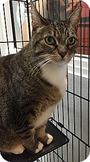 Domestic Shorthair Cat for adoption in Westminster, California - Titi