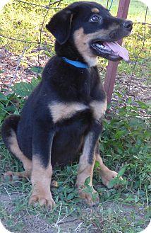 Golden Retriever/German Shepherd Dog Mix Puppy for adoption in Hartford, Connecticut - Kane