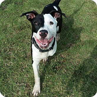 American Pit Bull Terrier Mix Puppy for adoption in Norman, Oklahoma - Bella *adoption pending*