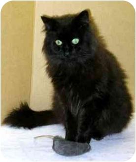 Domestic Longhair Cat for adoption in Portland, Oregon - Jackson (Handsome!)