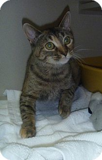 Domestic Shorthair Cat for adoption in Hamburg, New York - Hardy