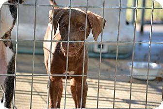 Labrador Retriever Mix Puppy for adoption in Springfield, Virginia - Darcy