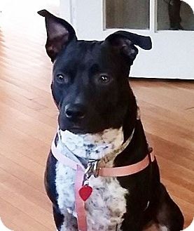 Boxer/Labrador Retriever Mix Dog for adoption in Memphis, Tennessee - Darla