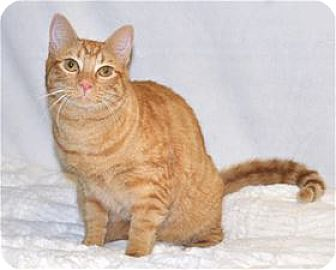 Domestic Shorthair Cat for adoption in Lincoln, California - Munchie