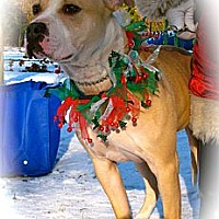 American Bulldog/Terrier (Unknown Type, Medium) Mix Dog for adoption in Media, Pennsylvania - TIGGER