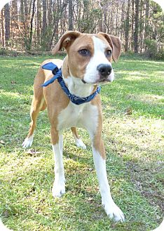 Labrador Retriever Mix Dog for adoption in Mocksville, North Carolina - Waldo