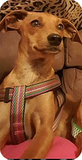 Miniature Pinscher/Chihuahua Mix Dog for adoption in Spring Valley, New York - Starla (ETAA)