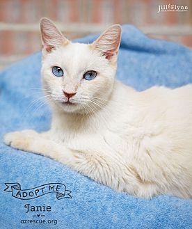 Siamese Cat for adoption in Phoenix, Arizona - Janie