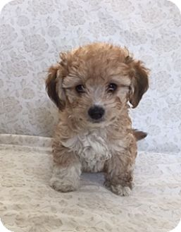 Spaniel (Unknown Type)/Poodle (Miniature) Mix Puppy for adoption in Pleasanton, California - Buster
