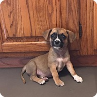 Adopt A Pet :: Cici - Houston, TX