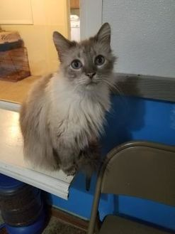 Siamese/Domestic Shorthair Mix Cat for adoption in Alpena, Michigan - Storm
