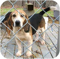 Beagle Dog for adoption in Portland, Ontario - Hazel