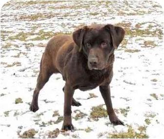Labrador Retriever Dog for adoption in Salem, Massachusetts - Jonathon