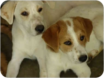 Labrador Retriever/Brittany Mix Puppy for adoption in Stafford Springs, Connecticut - Spanky