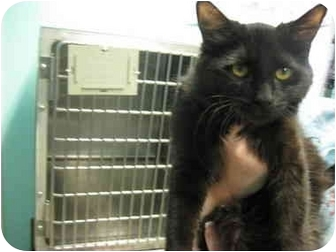 Domestic Longhair Cat for adoption in Grants Pass, Oregon - Lucy