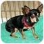 Photo 1 - Chihuahua Dog for adoption in Arlington, Tennessee - Lyndi