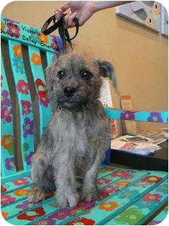 Border Terrier Mix Dog for adoption in Houston, Texas - Chewy