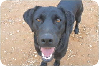 Labrador Retriever Dog for adoption in Anton, Texas - Matildia (Maddie)