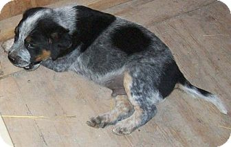 Australian Cattle Dog Puppy for adoption in Brownsville, Texas - Heeler Pups