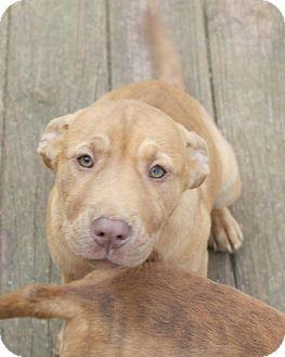 Mastiff/Labrador Retriever Mix Puppy for adoption in Seneca, South Carolina - Wendy $200