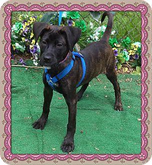 Labrador Retriever Mix Puppy for adoption in Marietta, Georgia - KELSI (R)