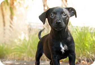 Dachshund/Chihuahua Mix Puppy for adoption in Portland, Oregon - Cordelia