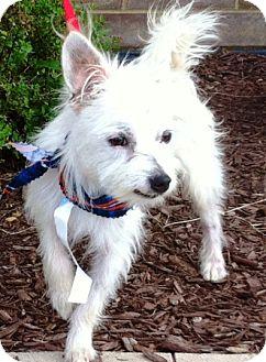 Poodle (Miniature)/Shih Tzu Mix Dog for adoption in Oswego, Illinois - Dublin
