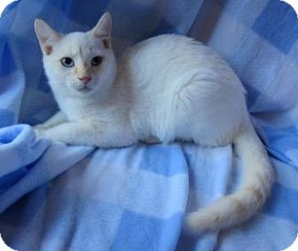 Siamese Cat for adoption in Asheboro, North Carolina - Flare